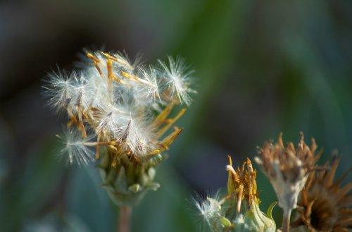 семя с пушком на цветке