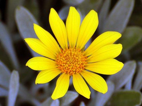 ярко желтый цветок