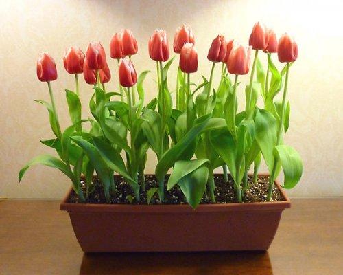 луковичные растения в комнате
