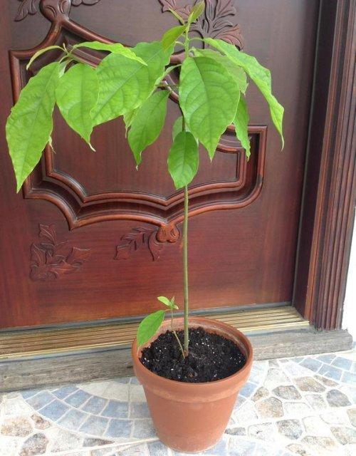 экзотическое растение дома