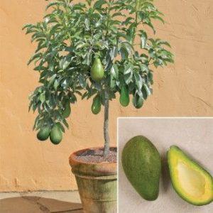 плоды на тропическом растении