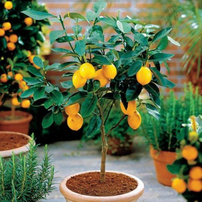 Цитрус лимон в домашних условиях как ухаживать