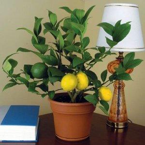 спелые жёлтые плоды