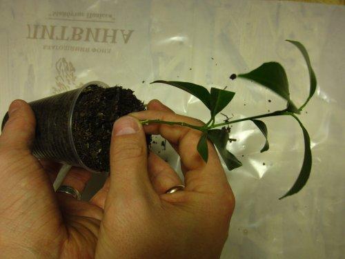 держать растение за стебель у основания