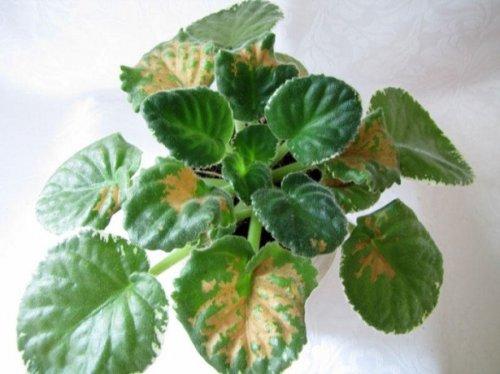 грибковая болезнь сенполии
