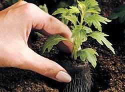 высаживаем в землю вместе с таблеткой