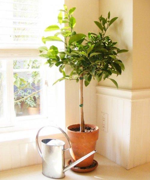 цитрусовое растение возле окна