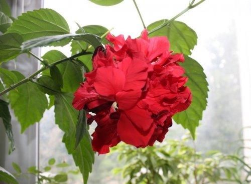 цветение гибискуса