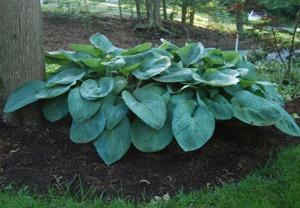 выращивание растения в тени