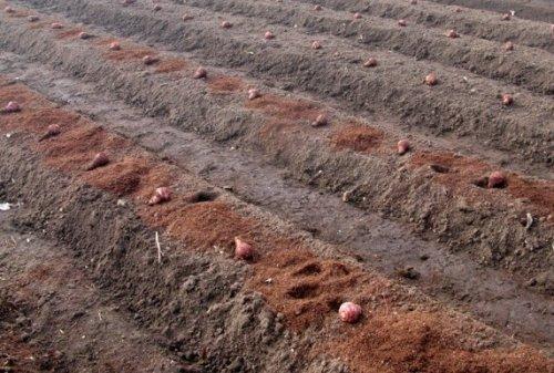 канавки для высадки клубневого подсолнечника