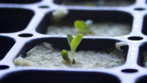выращивание орегано из семян