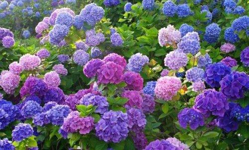 ярко цветущий куст