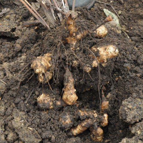 урожай сладкого картофеля