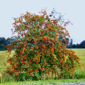 красные ягоды на ветках