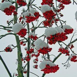 красные ягоды и снег