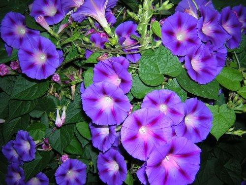 вьющийся цветок