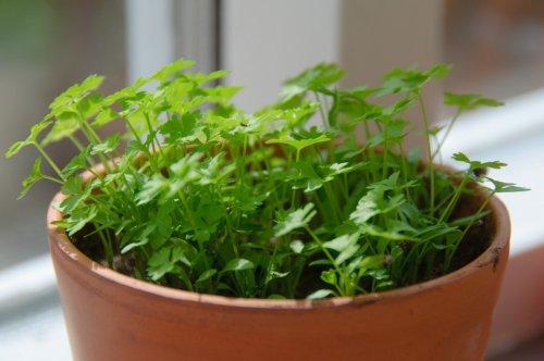 урожай зелени на подоконнике