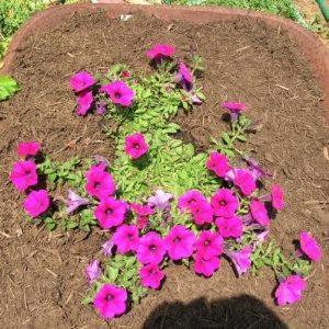 однолетний цветок для сада