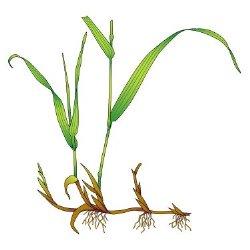 схематичное изображение сорняка