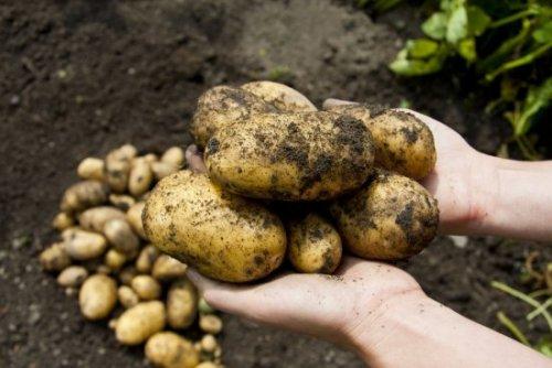 крупные картофельные клубни