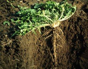 мощный корень сорного растения