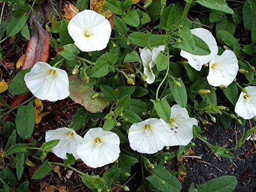 цветение сорняка березки