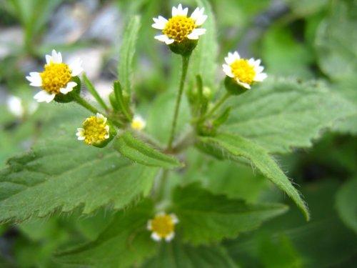 желтые цветки галинсоги
