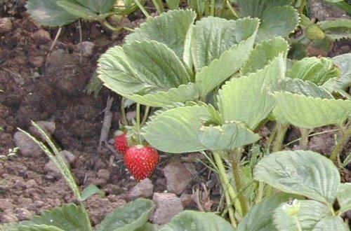 спелая земляника в огороде