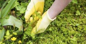 сорные растения легче вырывать после дождя