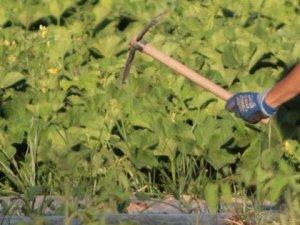 удаление сорной растительности тяпкой
