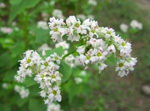 цветущая гречиха в поле