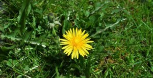 цветение сорного растения на участке