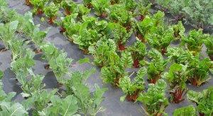 агроволокно защищает культурные растения от сорняков