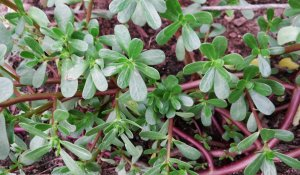 истые листья сорного растения