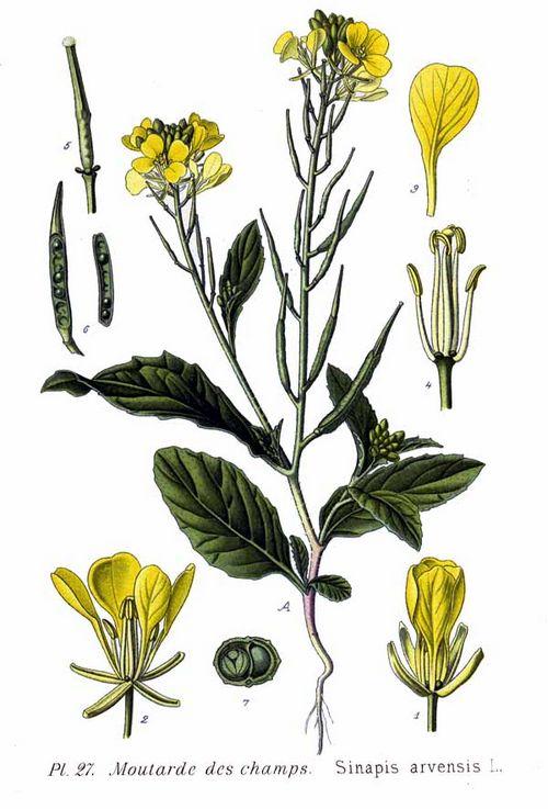 схематическое изображение Sinapis arvensis L