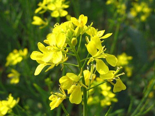 цветение свирепки в огороде