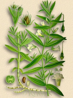 схематическое изображение растения