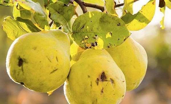 спелые фрукты на ветке