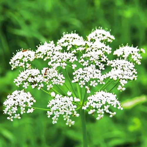 цветки хлебного семени