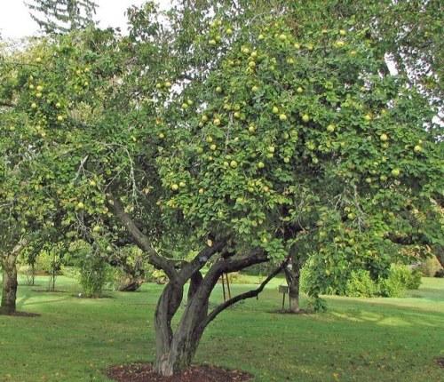 взрослое дерево бодряны