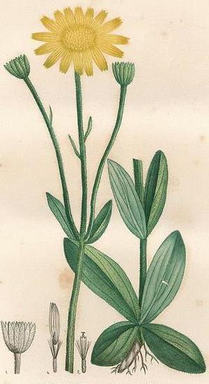 схематичное изображение бараньей травы