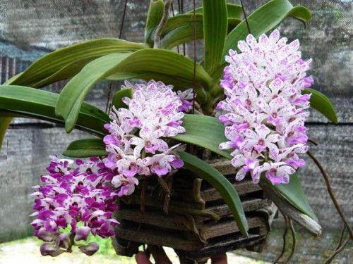розовое цветение орхидеи