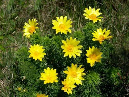 цветение желтотысячника